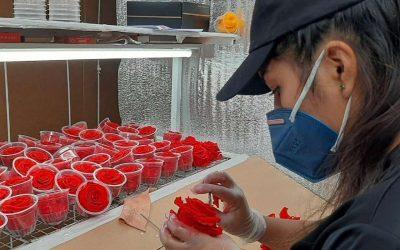 Floricultores de la localidad de Lasso exportan rosas hacia España