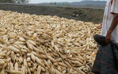 El Ministerio de Agricultura fijó en USD 14,60 el precio del quintal de maíz para el 2021
