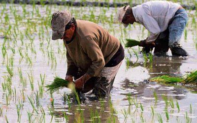 Nuevas ALTERNATIVAS para pequeños PRODUCTORES de arroz