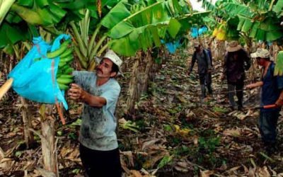 Para pequeños bananeros será gratuita la regularización de predios