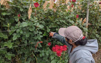 Aumento del consumo en Estados Unidos da optimismo al sector florícola