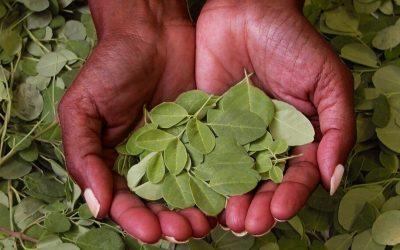 La moringa, el 'superalimento' que seduce a los agricultores ecuatorianos