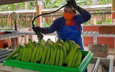 Alerta no confirmada de Fusarium en Venezuela preocupa a sector bananero nacional, que resalta exportaciones del 2020 y desafíos para este año
