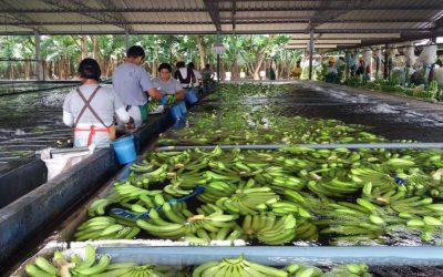 Exportaciones de banano caen 2,14% en el primer trimestre del 2021