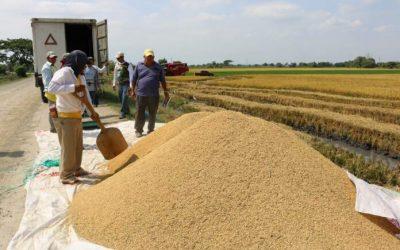 Ecuador exportará 60.000 toneladas de arroz a Colombia hasta junio, en diciembre llegará a 99.000 toneladas