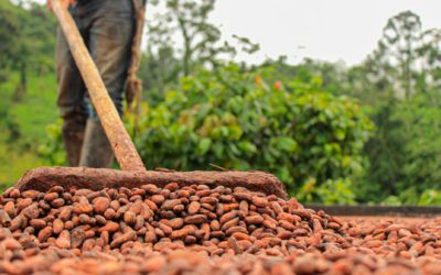 Ecuador bate récord productivo en cacao este primer trimestre del 2021