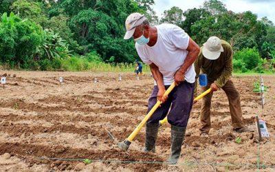 Ecuador: El camote se posiciona en varias zonas del país