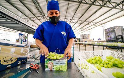 Producción y exportación de uvas de mesa van en aumento en Ecuador