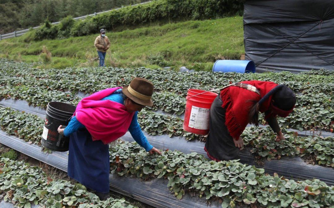 La ceniza del Sangay tiñe de gris la producción de la parroquia Cebadas