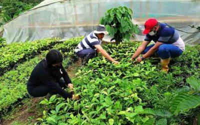 Alta productividad de café en Santo Domingo