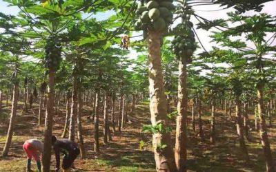Papaya, cultivo tropical cuyo precio varía