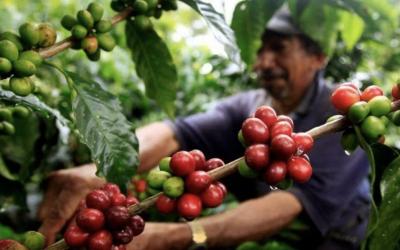 CARGA DE CAFÉ PERGAMINO SECO ALCANZA MÁXIMOS HISTÓRICOS Y SE UBICA EN $1,51 MILLONES