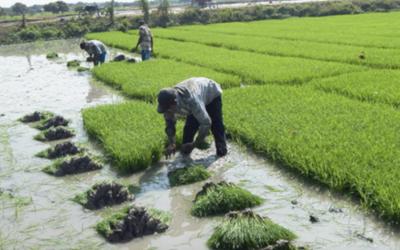 Ecuador busca reactivar exportación de arroz a Colombia