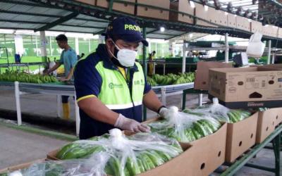 Exportación bananera cayó 4,57 % el primer semestre por reducción de compra en varios mercados