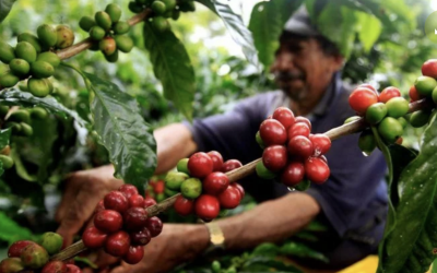 HELADAS EN CINTURÓN CAFETERO DE BRASIL CAUSARÁN INCUMPLIMIENTOS Y RECUPERACIÓN LENTA