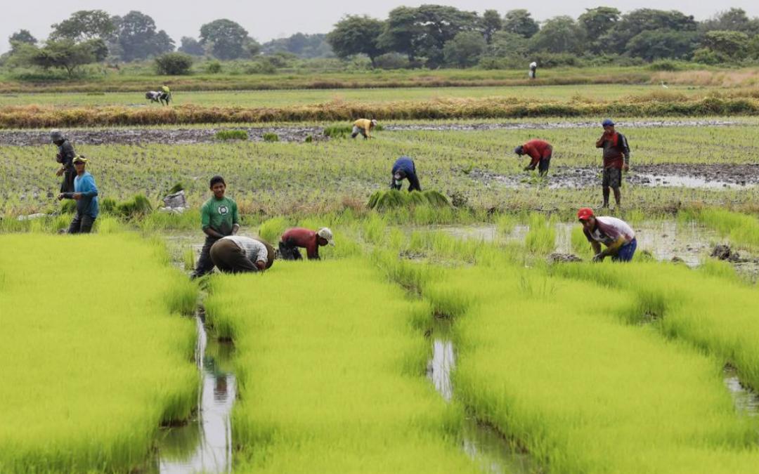 Arroceros en desacuerdo con nuevos precios del arroz fijados por el MAG