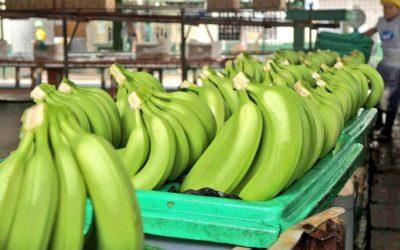 Ocho mercados compraron menos banano a Ecuador, pero Estados Unidos adquirió más
