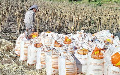Servicio de desgranadoras reduce costos de producción de maíz
