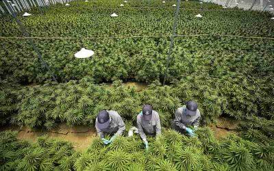 Cannabis medicinal llegaría a ser una agrocadena productiva